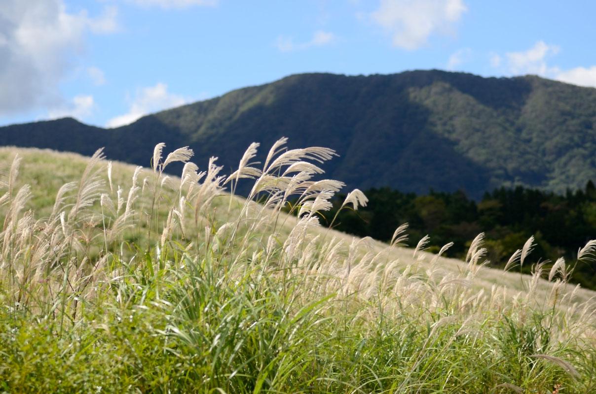 仙石原のすすき草原