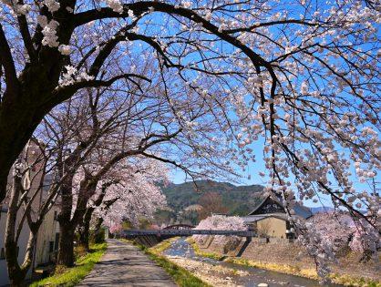 桜に彩られる飛騨古川 春の色 春の音